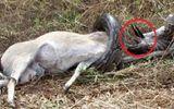 """Video: Trăn không lồ nhận """"cái kết thảm"""" khi cố nuốt chửng linh dương"""