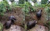 Video: Cảm động con voi giúp đồng loại thoát khỏi hố sâu 6 mét