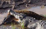 """Video: Cá sấu """"khổng lồ"""" dài hơn 4 mét ngấu nghiến đồng loại"""