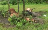 Tin tức thời sự 24h mới nhất ngày 28/6/2018: 5 con bò đồng loạt bị sét đánh chết trên cánh đồng
