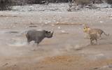 Video: Tê giác vác bụng bầu hỗn chiến với 3 con sư tử