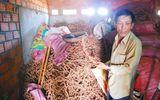 Gia Lai: Bất thường việc thương lái thu gom, mua bán rễ tiêu chết