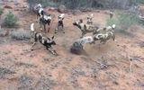 Video: Trận chiến sinh tử giữa linh cẩu và đàn chó hoang châu Phi
