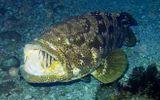 Video: Kinh hoàng cá mú nặng 2 tạ nuốt chửng cá mập trong chớp mắt