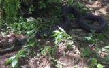 Video: Kinh hãi rắn hổ mang chúa dài 5m xơi tái trăn khủng trong tích tắc