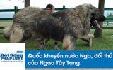 """Huấn luyện """"quốc khuyển nước Nga"""" - đối thủ của Ngao Tây Tạng"""