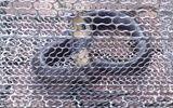 Bắt được rắn hổ mang dài hơn 1m khi đi uống cà phê ở Sài Gòn