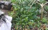 Chủ vườn đau đớn nhìn vườn nhãn sai trĩu quả sắp đến ngày thu hoạch bị kẻ gian phá nát