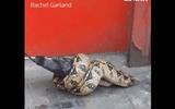 Video: Trăn lớn siết chặt chim bồ câu ngay giữa đường phố London