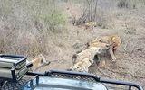 Video: Sư tử bất lực nhường xác lợn rừng cho bầy linh cẩu