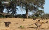 Video: Báo đốm bị khỉ đầu chó rượt đuổi ngã từ cây cao xuống đất