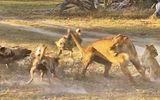 Video: Cái kết bất ngờ cho màn quyết chiến giữa sư tử mẹ và bầy chó hoang
