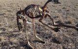 Hạn hán nghiêm trọng nhất 100 năm qua ở Úc, kangaroo chết trơ xương giữa đồng