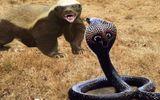 """Cuộc chiến sinh tồn: Sở hữu nọc độc chết người, rắn hổ mang vẫn bị """"ăn tươi nuốt sống"""""""