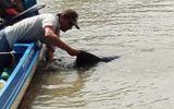 Người dân giải cứu cá heo nặng 150kg bị trôi dạt vào bờ