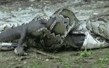 Video: Cá sấu xé toạc bụng trăn Miến Điện để trả thù