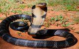 Clip: Cách đối phó khi gặp phải rắn độc như hổ mang chúa 20kg