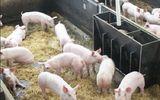 Công điện khẩn: Ngăn chặn bệnh Dịch tả lợn Châu Phi vào Việt Nam
