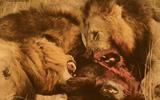 Video: Linh cẩu trả giá đắt vì đánh cắp thức ăn của bầy sư tử.