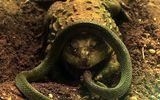 Video: Trận tử chiến giữa ếch yêu tinh và rắn nước