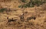 Video: Đàn chó hoang và linh cẩu hỗn chiến quyết liệt tranh mồi