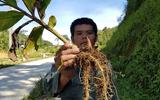 Xôn xao cây ngải tiên giúp thoát viêm đại tràng