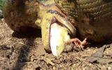 Video: Rùng mình cảnh trăn anaconda ngoặm chặt, nuốt sống 2 con gà cùng lúc