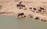 Video: Bầy chó rừng im lặng vì lỡ đánh mất con mồi cho cá sấu