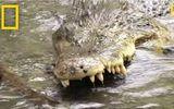 Video: Cuộc đối đầu tàn khốc giữa rắn hổ mang và cá sấu