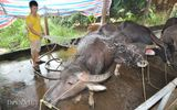 Cận cảnh giống trâu ngố khổng lồ nhất Việt Nam, đặc sản làm giàu của xứ Tuyên