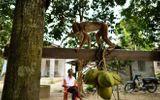 Hi hữu: Đang ngồi trước cửa nhà, cụ bà 72 tuổi tử vong vì bị khỉ ném dừa vào đầu