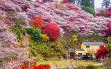 Lý thú ngắm hoa anh đào nghịch mùa ở Obara giữa thu Nhật Bản