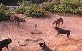 Video: Kinh hãi cảnh đàn chó nhà bao vây, xâu xé rắn hổ mang chúa