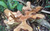 """Vụ gỗ lậu ở Mang Yang: Cơ quan chức năng báo cáo """"thiếu"""" tang vật?"""