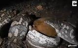 Video: Mổ bụng trăn anaconda khổng lồ, phát hiện con trăn khác bên trong