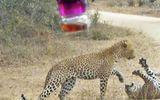 Video: Trận tử chiến kinh hoàng, báo đốm châu Phi lao vào cắn xé đồng loại