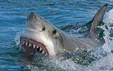 Australia: Người đàn ông tử vong do cá mập cắn khi đang bơi gần bờ