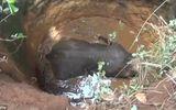 Video: 6 giờ nỗ lực giải cứu voi con bị rơi xuống giếng sâu 9 mét