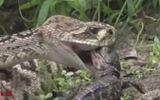 Clip: Dám ăn thịt cá sấu con mới sinh, rắn đuôi chuông bị cả nhà kẻ địch xé xác