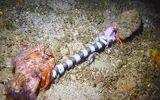 Video: Cua ẩn sĩ giằng co xác rắn cạp nong dưới đáy biển