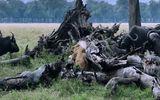 Video: Sư tử mẹ liều mình đẩy lùi đàn trâu rừng kéo tới giết con
