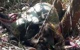 Bò tót 700 kg chết trong Khu bảo tồn Thiên nhiên văn hóa Đồng Nai