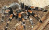 Video: Rợn người chứng kiến nhện tarantula run rẩy lột xác