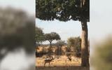 Video: Báo hoa mai phi thân từ ngọn cây vồ trọn linh dương trong chớp mắt