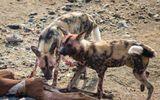 Video: Bầy chó hoang bất lực nhìn linh cẩu và cá sấu xé xác con
