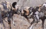 Video: Đàn chó hoang châu Phi đào hang, bắt sống thỏ