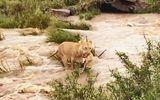 Video: Sư tử mẹ tha con nhỏ khoảng 4-6 tuần tuổi vượt sông chảy xiết