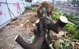 3,6 tỷ đồng để chặt hạ, di chuyển 476 cây xanh ở Hà Nội chi ra sao?