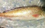 Cá lạ nghi sủ vàng nặng 5 kg sa lưới, trả giá 150 triệu đồng vẫn chưa bán