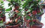 """""""Đắng lòng"""" khi mua phải táo bonsai gắn keo 502 trên thân cây mít, dâm bụt"""